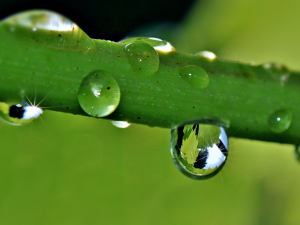 Raindrops on a grapevine